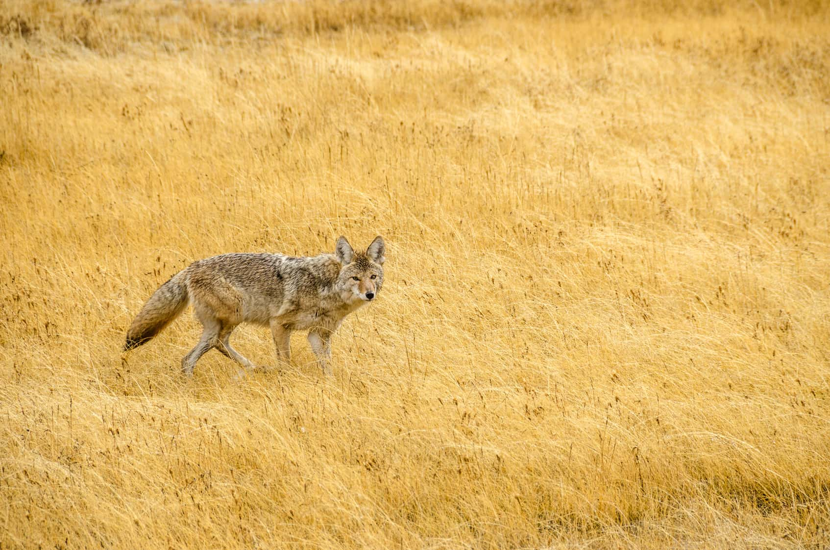 a coyote looking for prey in field